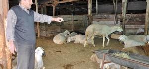 (DÜZELTME) Yozgat'taki koyun ölümleri