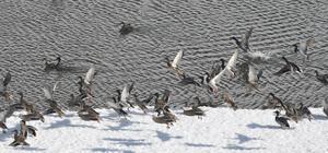 Buzları eriyen göl ördeklerle doldu