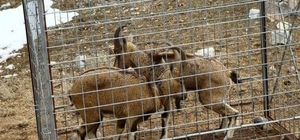 Erzurum'da GPS takılan yaban keçileri doğaya salındı