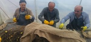 Kastamonu ve Sinop'ta cevizler aşılanıyor