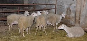 Nazilli'de 21 koyunu çalınan çiftçi isyan etti