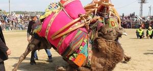 Germencik'te yapılan sezonun son deve güreşi büyük ilgi gördü