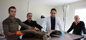 Artvin'de yaralı kızıl akbaba tedavi altına alındı