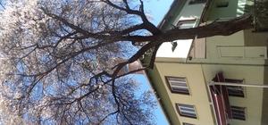 Bu badem ağacı her yıl erken açmaya abone gibi