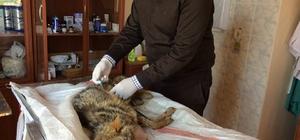 Yaralı çakal yavrusu tedavi altına alındı