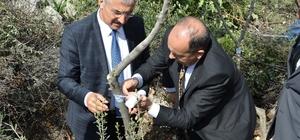 Mersin'de 2017 yabani zeytin aşılama çalışmaları başladı