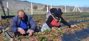Çilek üreticileri yeni sezon için hazırlıklara başladı
