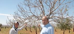 Antepfıstığı üreticilerine Karagöz Kurdu uyarısı