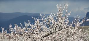 """""""Kayısı cenneti"""" Malatya çiçeklerle beyaza büründü"""