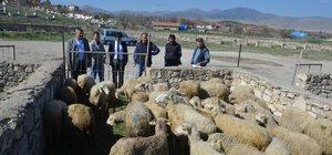 Talihli genç çiftçilere hibe koyun ve koçları teslim edildi