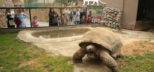 """Kaplumbağa """"Tuki"""" 97 yaşına girdi"""