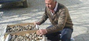 Hisarcık'ta kuzugöbeği mantarı köylülerin gelir kaynağı oldu