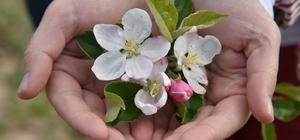 """""""Sakin şehir""""in elma ağaçları çiçek açtı"""