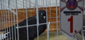 Karaman'da Şebap Güvercin Festivali