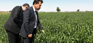 Hükümlülerin ektiği buğdaylar başak verdi