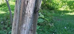 Fındık bahçelerinde görülen yılanlar korkutuyor