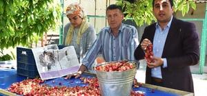Kirazın anavatanı Kemalpaşa'da ilk hasat yapıldı