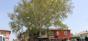 600 Yıllık çınar ağacı Tut ilçesinin simgesi