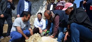 Malatya'da yetiştiricilere uygulamalı koyun kırkımı eğitimi