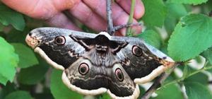 Aydın'da dev kelebek şaşırttı