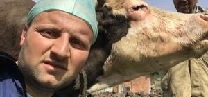İneğin göz kapağındaki tümör ameliyatla alındı