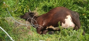 Elektrik akımına kapılan inek telef oldu