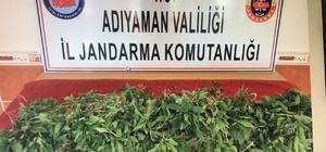 Saksıda kenevir bitkisi ele geçirildi