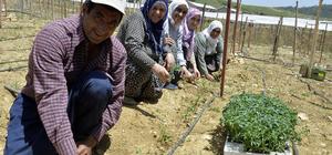 Belediyeden çiftçilere 260 bin domates fidesi