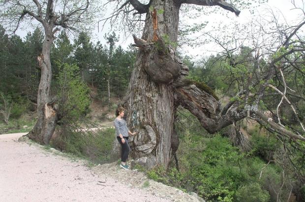 Kestane ağaçları korunmayı bekliyor