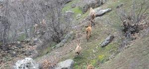 (Cumartesi geçilecek) Yaban keçileri sürü halinde görüntülendi