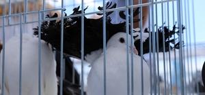 Güvercin meraklıları festivalde buluştu