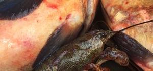 Abant Gölü'nde istilacı balık türleriyle mücadele