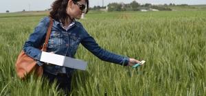 Süne ile biyolojik mücadelede 700 bin faydalı böcek salındı