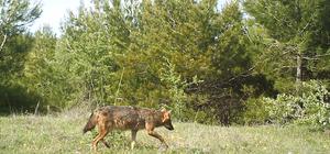 Manisa'da ilk kez kurt görüntülendi