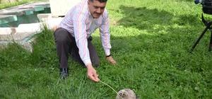 Yavru puhu koruma altına alındı