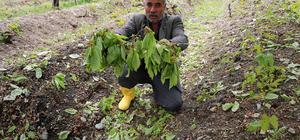 Erzincan'da dolu, tarım ürünlerine zarar verdi
