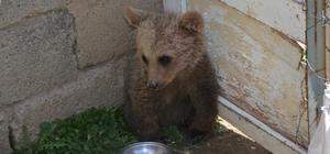 İlçeye inen yavru ayı koruma altına alındı