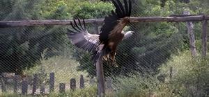 Tedavi edilen kızıl akbaba ve çakal doğaya salındı