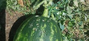 Adana'da dolu tarım ürünlerine zarar verdi