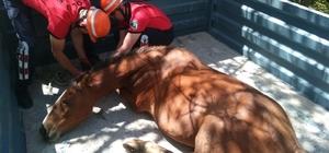Yaralı bulunan Yılkı Atı Ankara'ya gönderildi