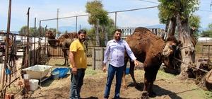Deve yetiştiricileri deve güreşlerine destek istedi