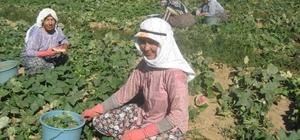 Ödemiş'te salatalık sezonu açıldı