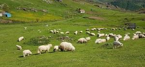 Koyunlar yaylalara ulaştı