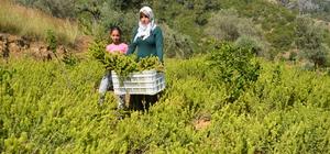 Antalya'nın Gazipaşa ilçesinde ada çayı hasadı başladı