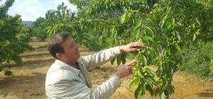 Aşırı yağışlar meyve üreticilerini endişelendiriyor