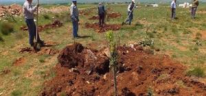 Aslanapa ağaçlandırılıyor