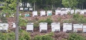 Düzce'de bal ormanları üretime hazır