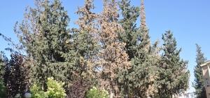 Kabuk böceğinin kuruttuğu 29 çam ağacı kesilecek