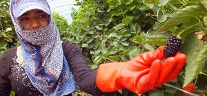 Mersin'de örtü altında böğürtlen hasadı başladı