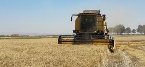 MKÜ arazilerinde buğday hasadına başlandı
